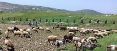 Sheep in front of the Hiding Endemic Targets